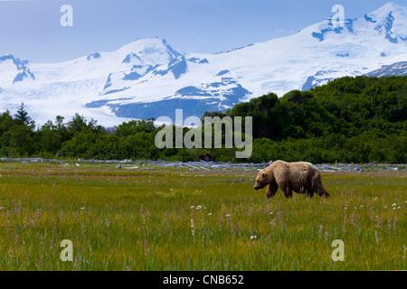 Oso Pardo costera de pastoreo en ciperáceas, flores silvestres y otras hierbas en Meadow en Hallo Bay, el Parque Nacional de Katmai, Alaska Foto de stock