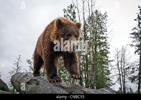 Cautivo: Macho Marrón Kodiak Bear camina por un registro, el Centro de Conservación de la vida silvestre de Alaska, Southcentral Alaska, Verano