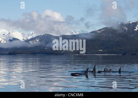 Killer Whale pod mostrando las aletas dorsales de glassy calma superficie de Prince William Sound con montañas Chugach, Alaska, en segundo plano.