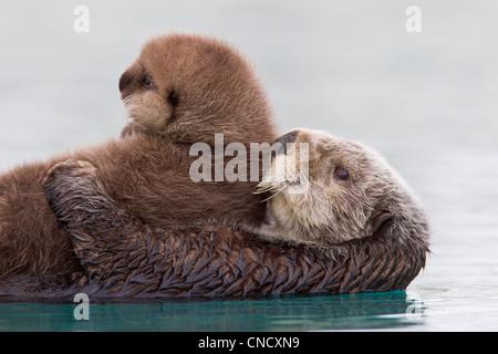 Hembra de nutria de mar celebración pup recién nacido fuera del agua, Prince William Sound, Alaska, Southcentral invierno