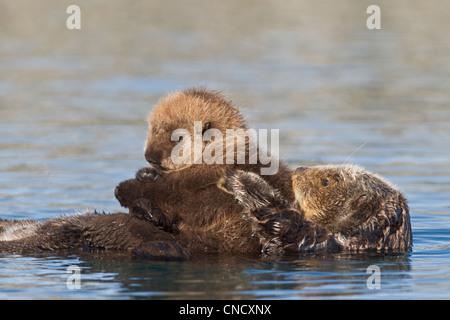 Hembra de nutria de mar recién pup cabalgando sobre su estómago, Prince William Sound, Alaska, Southcentral invierno