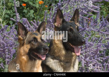 Dos perros Pastor Alemán en frente de flores-head shots