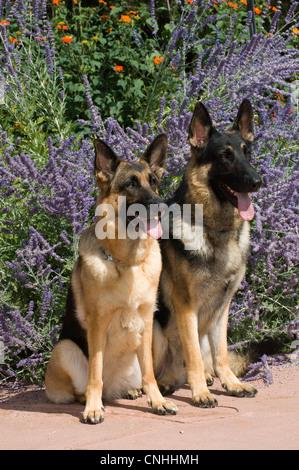 Dos perros Pastor Alemán sentado en frente de flores