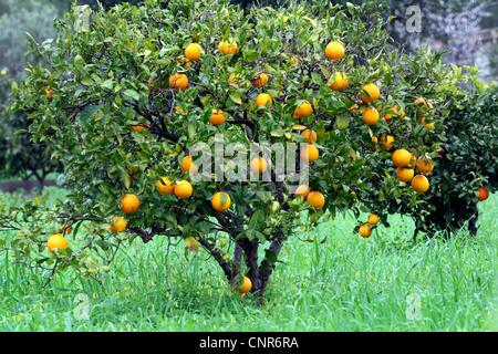 Árbol de naranja (Citrus sinensis), fructificación naranja, España, Balearen, Mallorca