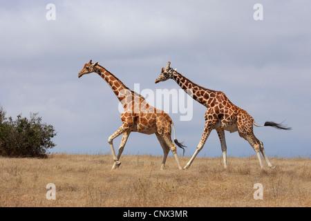 Jirafa reticulada (Giraffa camelopardalis reticulata), dos jirafas corriendo a través de la sabana, Kenya, Sweetwater Game Reserve