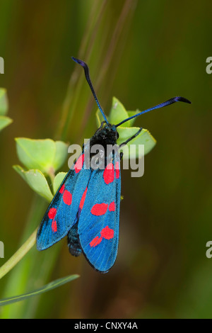6-spot Burnett (Zygaena filipendulae, Anthrocera filipendulae), sentado en un expurgo, Italia, Sicilia
