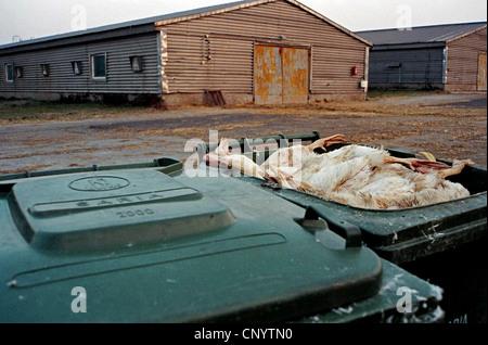 Domestic Duck (Anas platyrhynchos f. domestica), patos muertos en los cubos de la basura en frente de los establos de engorde en las granjas industriales, Alemania