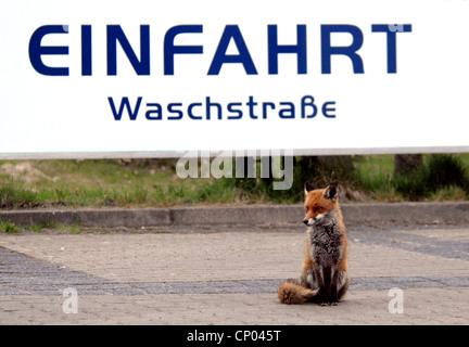 El zorro rojo (Vulpes vulpes), sentada en la zona de estacionamiento de un lavacoches, Alemania