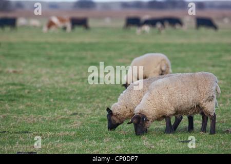 Ovejas (Ovis aries). Suffolk cruz, capa de hierba corta de pastoreo en los pastizales. Pasto corto de esta longitud es atractiva para las ocas salvajes.