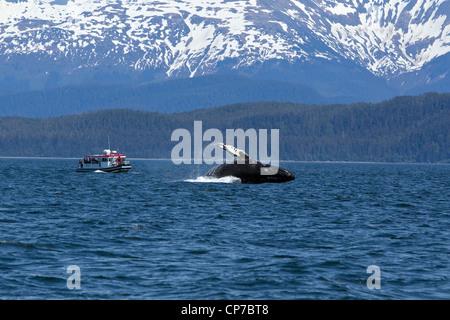 Los turistas de vida silvestre tour ver como una ballena jorobada brechas en Lynn Canal, dentro del pasaje, sureste de Alaska, Verano