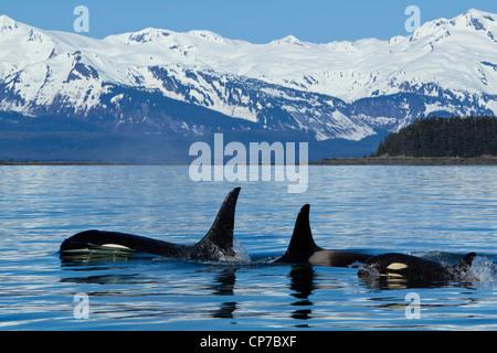 Compuesto: Familia de orcas en la superficie del canal cerca de Lynn Chilkat Juneau con montañas de fondo, Alaska