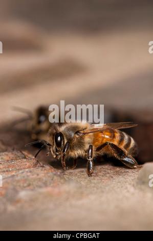 Trabajador las abejas (Apis mellifera) dejando el nido para ir forrajeando. Naturaleza Crossness Rerserve, Bexley, Kent. Junio