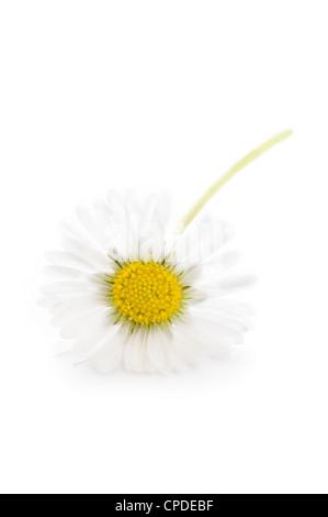 Un único común inglés silvestres daisy aislado sobre un fondo blanco.