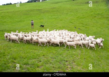 Nueva Zelanda Isla Norte cerca de Wellington, el pastor y las ovejas perros manada de ovejas cerca de lana derramada en Wairarapa