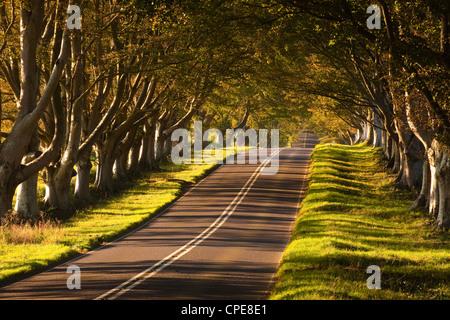 El sinuoso camino a través de la Beech Avenue en Kingston Lacy, Dorset, Inglaterra, Reino Unido, Europa