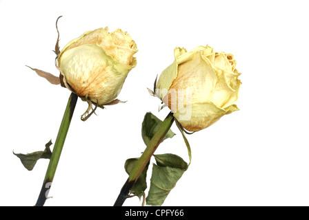 Dos amarillas y pétalos de rosas secas sobre blanco