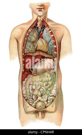 Medicina, anatomía, órganos internos, modelo de educación, Alemania ...