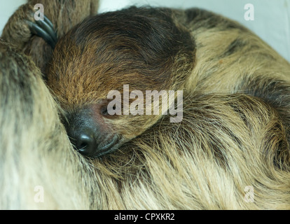 Hoffmann de dormir dos vetado Sloth Choloepus hoffmanni.