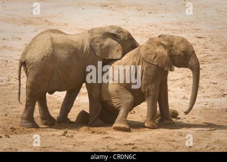 Dos jóvenes elefantes jugando, uno sobre las rodillas Foto de stock
