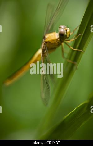 Cerca de libélulas en tallo