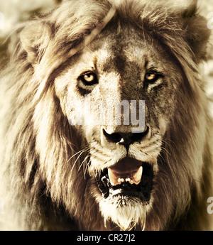 Lions head, cerca de la cara de león retrato, animales salvajes, fauna africana fotografía al aire libre, cinco Foto de stock