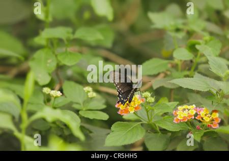Especie Spicebush mariposa Papilio Troilo sobre arbustos de flores de verbena planta Lantana camara con las alas Foto de stock