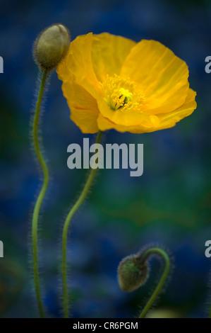 Papaver nudicaule amapola en flor flor amarilla