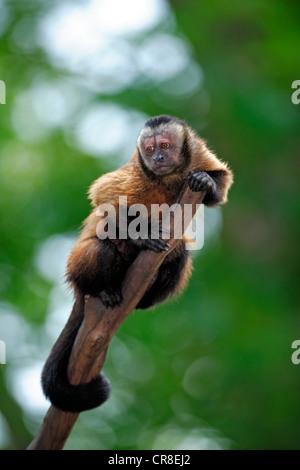 Llorona capuchino (Cebus olivaceus, Cebus nigrivittatus), adulto en un árbol, Sudamérica