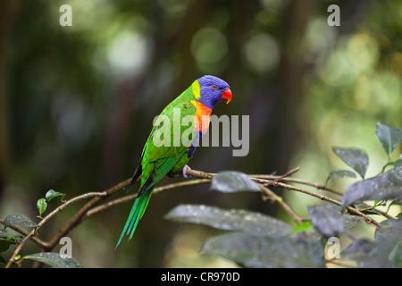 Rainbow Lorikeet (Trichoglossus haematodus), Atherton Tablelands, Queensland, Australia