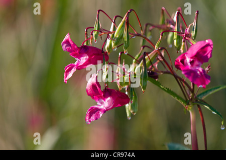 Bálsamo del Himalaya (Impatiens glandulifera), flores y cápsulas de semillas, neófito, Alemania, Europa