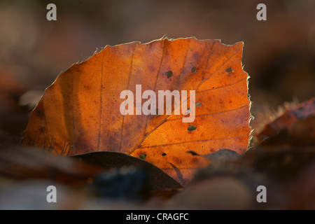 Unión haya (Fagus sylvatica) hoja en otoño, Kellerwald, Hesse, Alemania, Europa