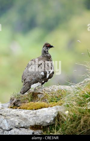 Ptarmigan o Rock lagópedos (Lagopus muta), macho, el plumaje de verano, encaramado sobre una roca, Niederhorn, en el Oberland bernés en Suiza