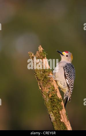 De fachada dorada Woodpecker (Melanerpes aurifrons), macho encaramado, Dinero, el lago de Corpus Christi, el sur de Texas, EE.UU.