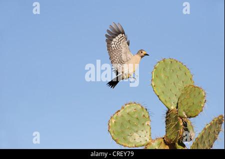 De fachada dorada Woodpecker (Melanerpes aurifrons), hembra aterrizar en Texas Nopal (Opuntia lindheimeri), Texas