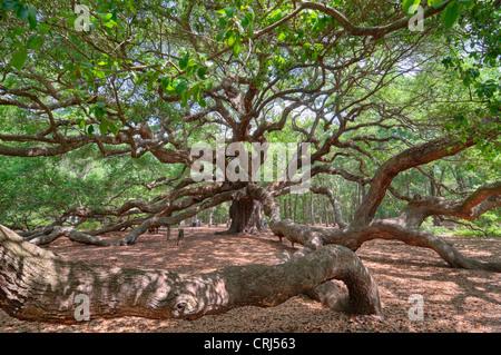 Angel Oak en Charleston, SC es un Live Oak se dice que es el organismo vivo más antiguo al este del río Mississippi.