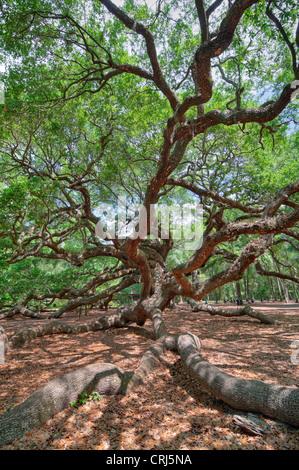 Angel Oak en Charleston, SC es un Live Oak se dice que es el organismo vivo más antiguo de la zona oriental de Estados Unidos.