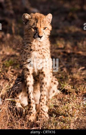 Wild Cheetah Cub Foto de stock