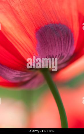 Amapola Roja flor Foto de stock