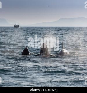 Orcas alimentándose de arenque. Avistamiento de ballenas en barco en la distancia. Breidafjordur, Península de Snaefellnes, Islandia