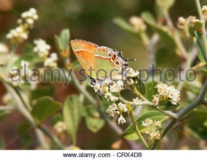 Siva Juniper Hairstreak Callophrys gryneus Mitoura gryneus siva Butterfly Arizona