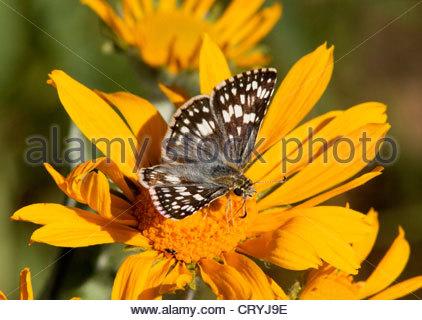 Común o blanco Checkered-Skipper Pyrgus Pyrgus communis Checkered-Skipper albescens Butterfly Ver nota