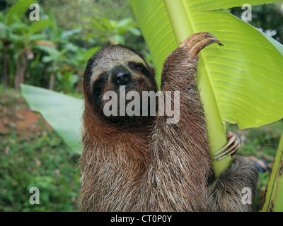 Perezoso de tres dedos en un árbol de plátano, Costa Rica