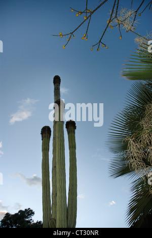 Carnegiea gigantea, cactus saguaro cactus