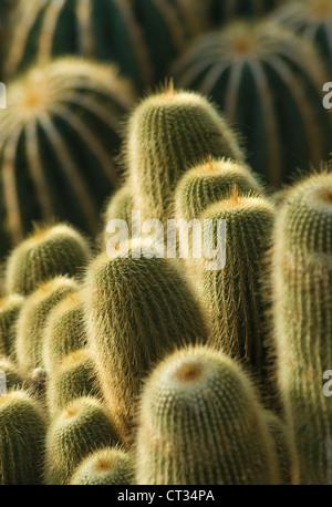 Parodia leninghausii torre amarilla, cactus, plantas suculentas masificada en vertical.