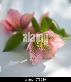 Helleborus orientalis Hellebore