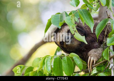 Perezoso de tres dedos (Bradypus variegatus) forrajeando en Isla Carenero, Bocas del Toro, Panamá.