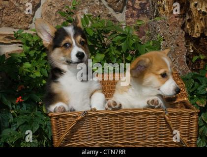 Dos cachorros Welsh Corgi en la cesta