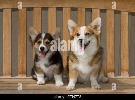 Dos Pembroke Welsh Corgis sentado en un banco