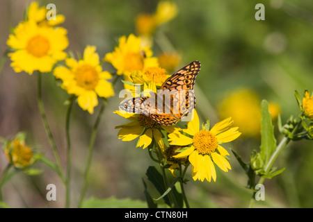 Mariposa Frutillaria variegada, Euptoieta claudia, en un rancho en el sur de Texas.