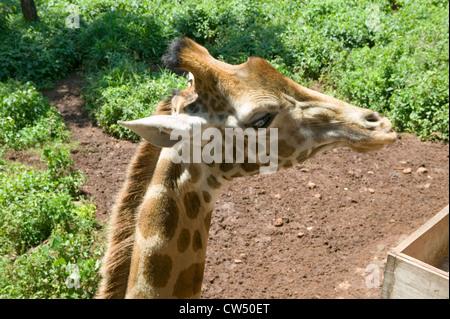 Mano alimenta la cabeza de la jirafa Rothschild Fondo Africano de fauna silvestre en peligro de extinción Giraffe Center cerca de Parque Nacional Nairobi Nairobi